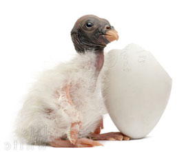 ZooBorn: King Vulture chick