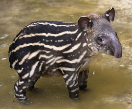 cutest ZooBorn ever? : a baby Tapir