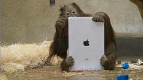 orangutan playing with iPad