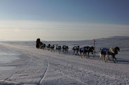 Mitch Seavey mushing his team into White Mountain checkpoint